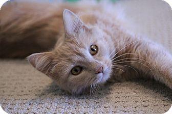 Domestic Longhair Cat for adoption in Richmond, Virginia - Sara