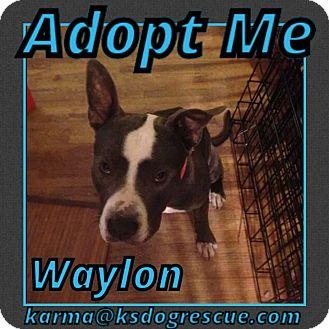 Pit Bull Terrier Mix Dog for adoption in Cheney, Kansas - Waylon