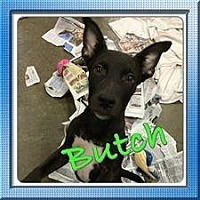 Shepherd (Unknown Type) Mix Dog for adoption in Fresno, California - Butch