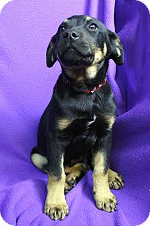 Rottweiler Mix Puppy for adoption in Westminster, Colorado - Indiana