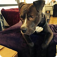 Pit Bull Terrier Dog for adoption in Los Angeles, California - Petey