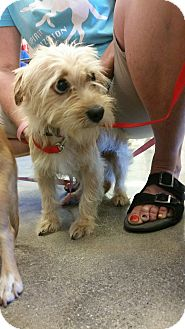 Terrier (Unknown Type, Small) Mix Dog for adoption in Fountain Valley, California - Emma