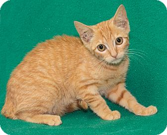 Domestic Shorthair Kitten for adoption in Elmwood Park, New Jersey - Noodle