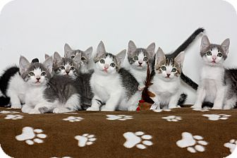Domestic Shorthair Kitten for adoption in Stockton, California - kitens,kittens,kittens