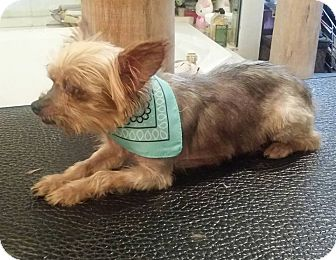 Yorkie, Yorkshire Terrier Dog for adoption in FORT WORTH, Texas - Biscuit