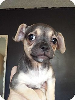Pug/Dachshund Mix Puppy for adoption in Encino, California - Lola - Litty Pup