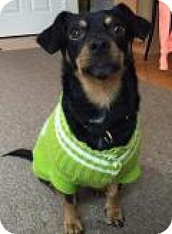 Miniature Pinscher Mix Dog for adoption in Breinigsville, Pennsylvania - Pucker