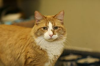 Domestic Mediumhair Cat for adoption in Grayslake, Illinois - Red Star