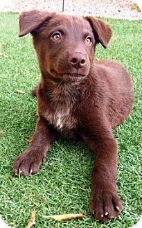 Australian Cattle Dog Mix Puppy for adoption in Gilbert, Arizona - Davis