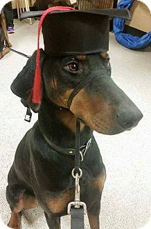 Doberman Pinscher Dog for adoption in Sinking Spring, Pennsylvania - Macy