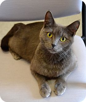 Russian Blue Cat for adoption in Michigan City, Indiana - Oki
