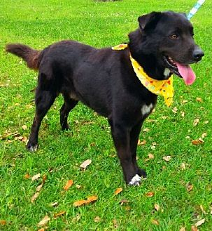 Flat-Coated Retriever/Labrador Retriever Mix Dog for adoption in Simsbury, Connecticut - Niko