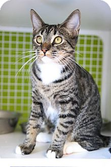 Domestic Shorthair Cat for adoption in Los Angeles, California - Robin