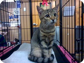 Domestic Shorthair Kitten for adoption in Raleigh, North Carolina - CLEMENTINE