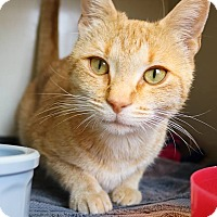 Adopt A Pet :: Red Velvet - Ann Arbor, MI