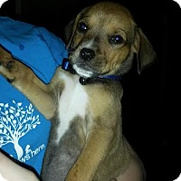 Labrador Retriever/Rottweiler Mix Puppy for adoption in Manchester, New Hampshire - Abby - pending