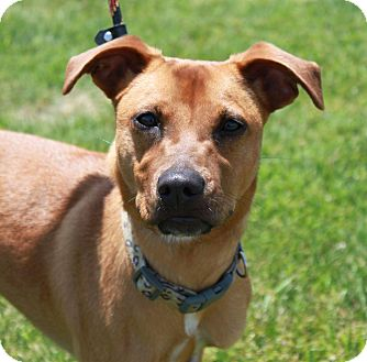 Retriever (Unknown Type) Mix Dog for adoption in Staunton, Virginia - Calle