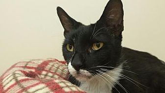 Domestic Shorthair Cat for adoption in Smithtown, New York - LONNIE