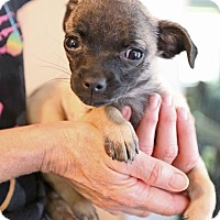 Adopt A Pet :: Saki - Hagerstown, MD