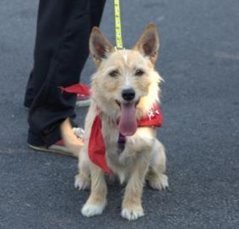 Terrier (Unknown Type, Small) Mix Dog for adoption in Shohola, Pennsylvania - Cindy