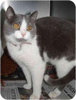 Domestic Shorthair Cat for adoption in Honesdale, Pennsylvania - Bella