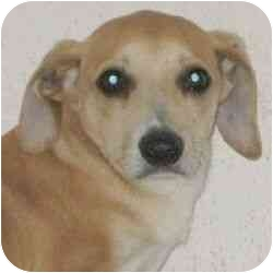 Chihuahua Mix Puppy for adoption in Berkeley, California - Malcolm