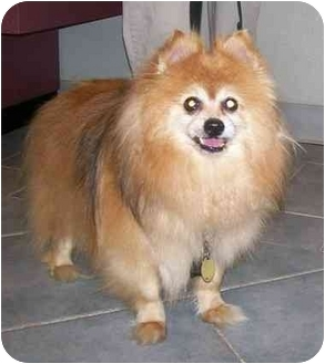 Pomeranian Mix Dog for adoption in Oak Ridge, New Jersey - Gucci