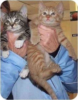 Domestic Shorthair Kitten for adoption in Randolph, New Jersey - Pooh BEAR and Little Eeyore