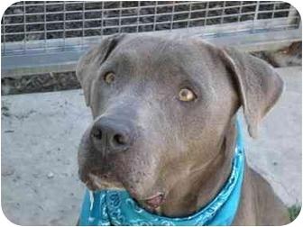 American Pit Bull Terrier/Great Dane Mix Dog for adoption in San Pedro, California - Eli