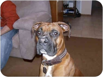 Boxer Dog for adoption in Middlesex, New Jersey - Big Boy