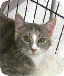 Domestic Shorthair Cat for adoption in McMinnville, Oregon - Jewel
