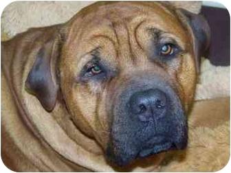 Bullmastiff Mix Dog for adoption in Meadow Lake, Saskatchewan - Mas