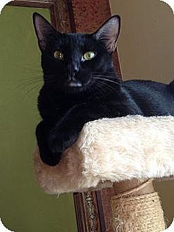 Domestic Shorthair Cat for adoption in St. Cloud, Florida - Dean