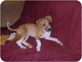 Rat Terrier Mix Puppy for adoption in Homer, New York - Rosebud