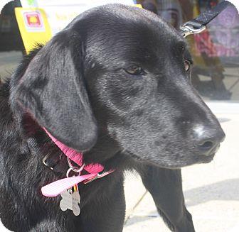 Labrador Retriever Dog for adoption in BIRMINGHAM, Alabama - Harley