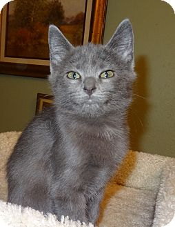 Domestic Shorthair Kitten for adoption in Bentonville, Arkansas - Winnie