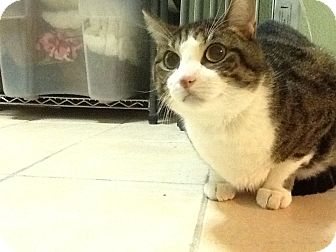 Domestic Shorthair Cat for adoption in bloomfield, New Jersey - Clarence