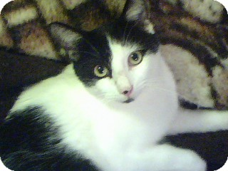 Domestic Mediumhair Cat for adoption in Winder, Georgia - *Patches