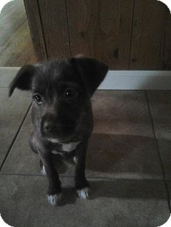 Terrier (Unknown Type, Small)/Chihuahua Mix Puppy for adoption in Yuba City, California - Bubb