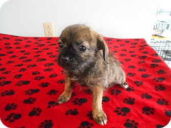 Yorkie, Yorkshire Terrier/Pug Mix Puppy for adoption in Rochester, New Hampshire - Susie
