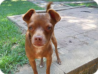 Miniature Pinscher/Chihuahua Mix Dog for adoption in Charlotte, North Carolina - Chip