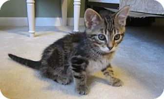 Domestic Shorthair Kitten for adoption in Lombard, Illinois - Lucky