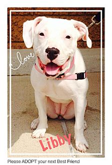 American Pit Bull Terrier/American Staffordshire Terrier Mix Dog for adoption in Crown Point, Indiana - Libby