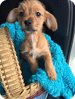 Chihuahua/Yorkie, Yorkshire Terrier Mix Puppy for adoption in Hagerstown, Maryland - Slater