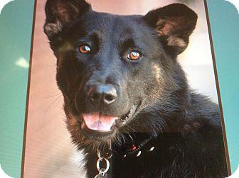 German Shepherd Dog Mix Puppy for adoption in Los Angeles, California - VENUS VON VAREL