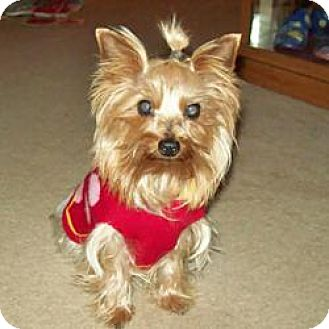 Yorkie, Yorkshire Terrier Dog for adoption in Lancaster, Texas - Lucy