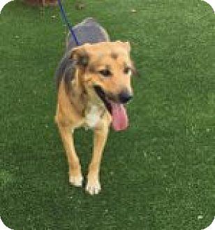 Shepherd (Unknown Type) Mix Dog for adoption in Las Vegas, Nevada - Autumn