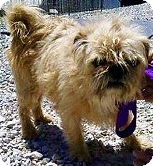 Shih Tzu/Pug Mix Dog for adoption in Oswego, Illinois - Cosmo