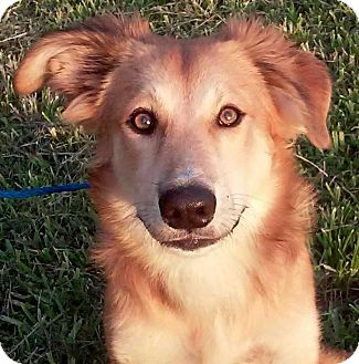 Golden Retriever/Collie Mix Puppy for adoption in Homestead, Florida - Berry