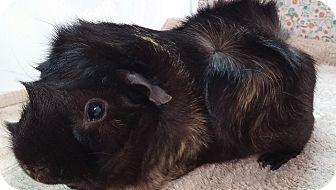 Guinea Pig for adoption in Aurora, Colorado - Skeeter